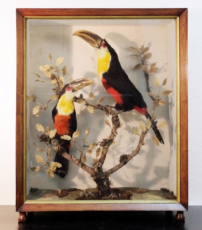 1880's british taxidermy toucan